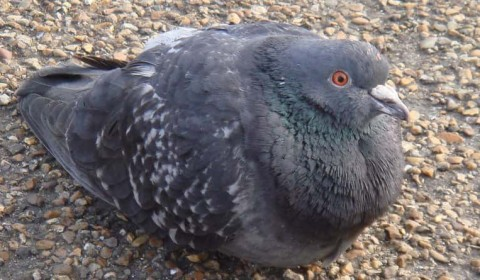 Pathologists to be replaced with…pigeons?